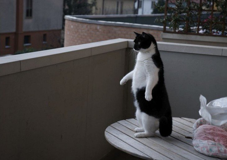 Gato parado en dos patas sobre una mesa redonda con un color y pose parecida a la de un pingüino