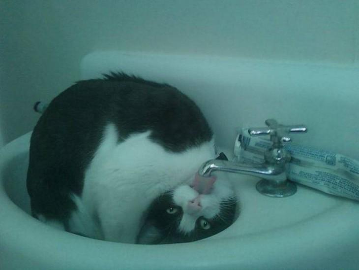 Gato dentro de un lava manos con la cabeza al revés tomando agua