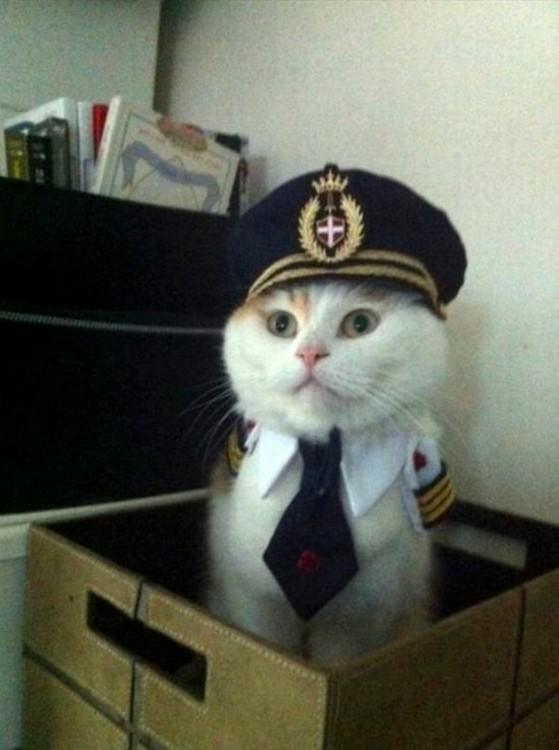Gato de color blanco disfrazado de capitán dentro de una caja