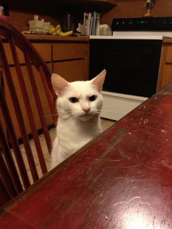 Un gato sentado en una silla frente al comedor con cara de enojado