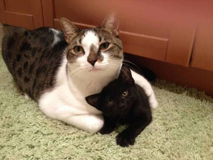 Gato abrazando con una pata a otro gato bebé a un costado