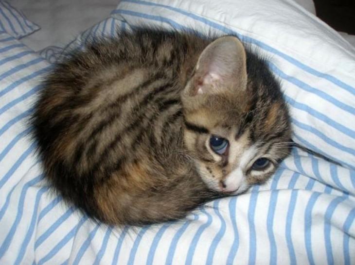 Gato enroscado sobre una cama viendo hacia arriba