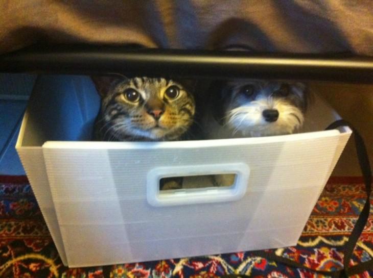 Gato y perro dentro de una caja escondidos