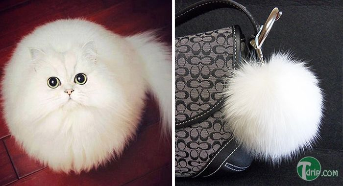 Este gatito se parece a un juguete Fluffy