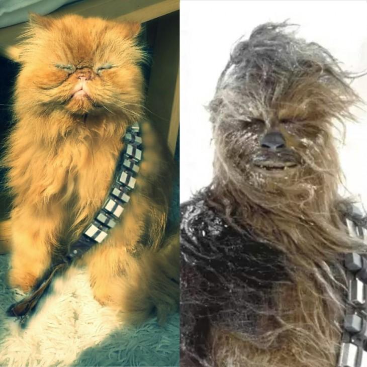 Gatos Que Se Parecen A Chewbacca