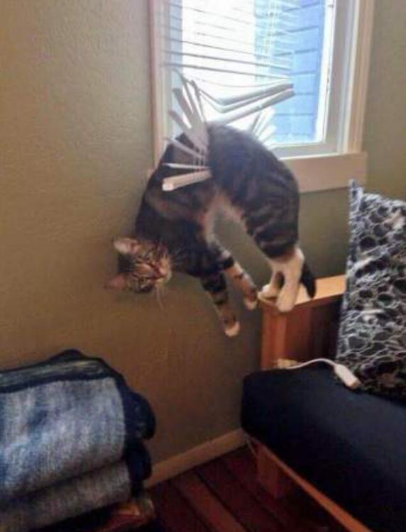 Gatos atrapados colgando de cortinas