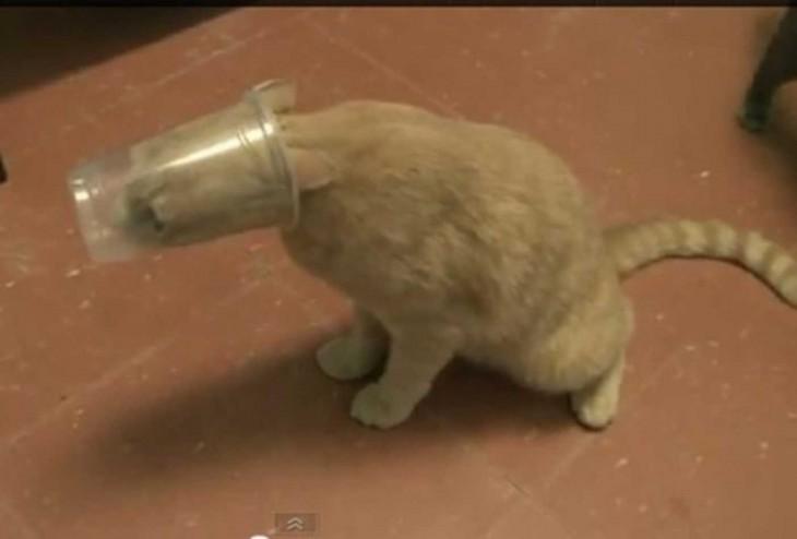 Gatos atrapados con cabeza en un vaso