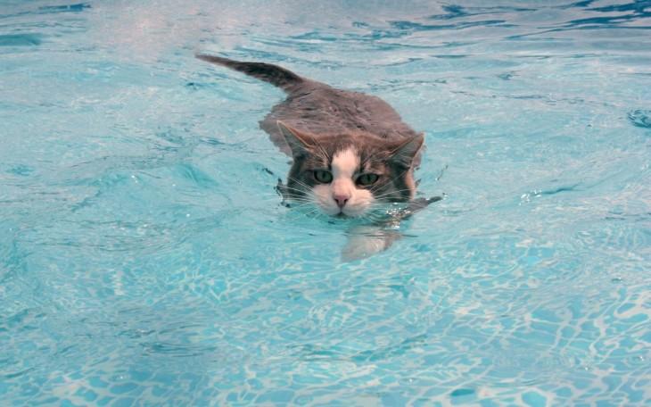 Gatos que aman bañarse (12)