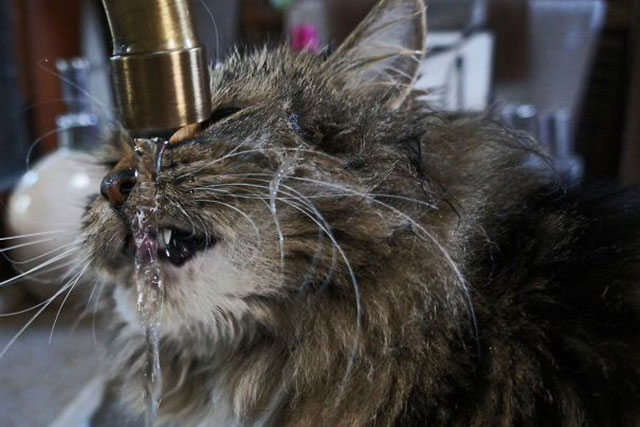 Gatos que aman bañarse (13)