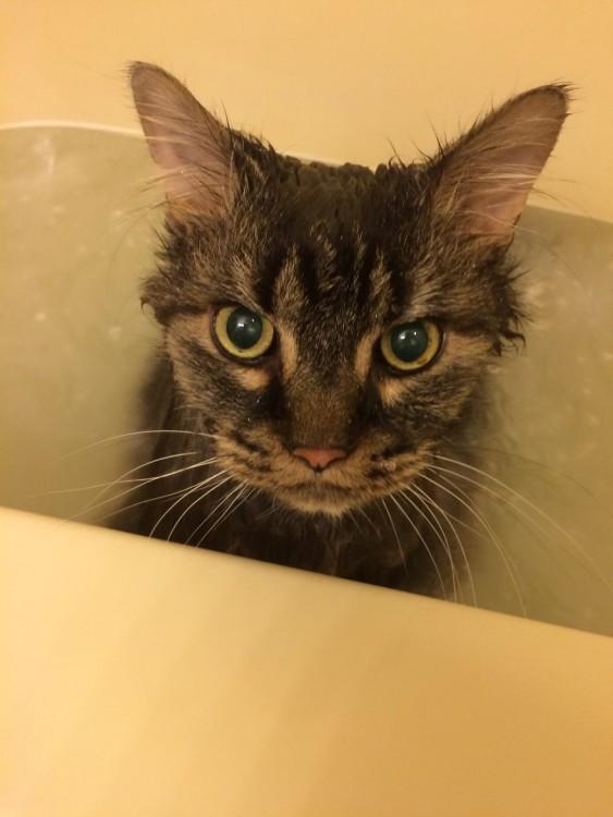 Gatos que aman bañarse (15)