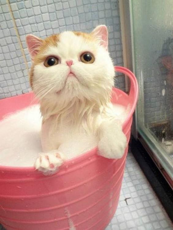 Gatos que aman bañarse (17)