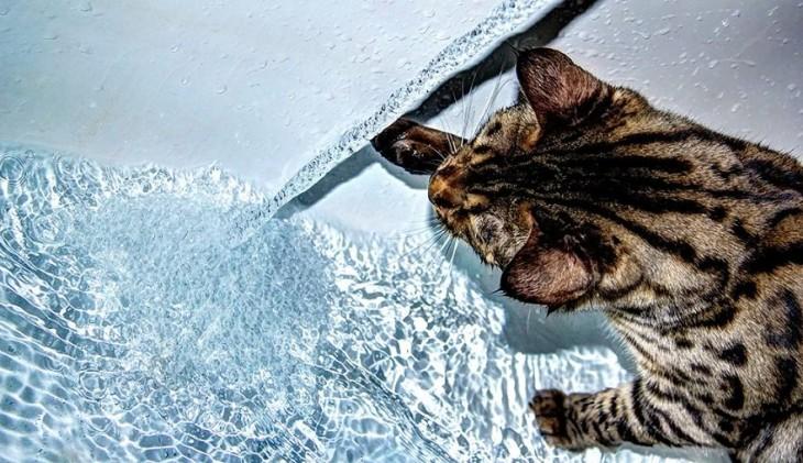 Gatos que aman bañarse (4)