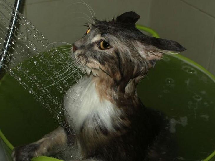 Gatos que aman bañarse (5)