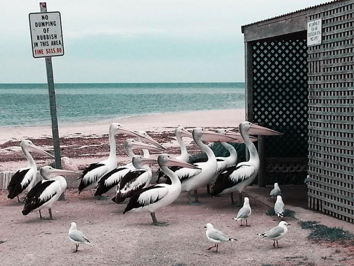 Pelícanos y gaviotas entrando a donde se guardan los desechos de pescado