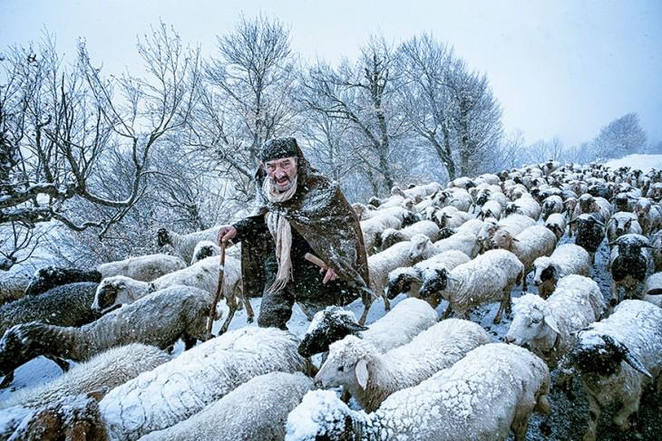 Viejo pastor con sus ovejas durante una tormenta de nieve