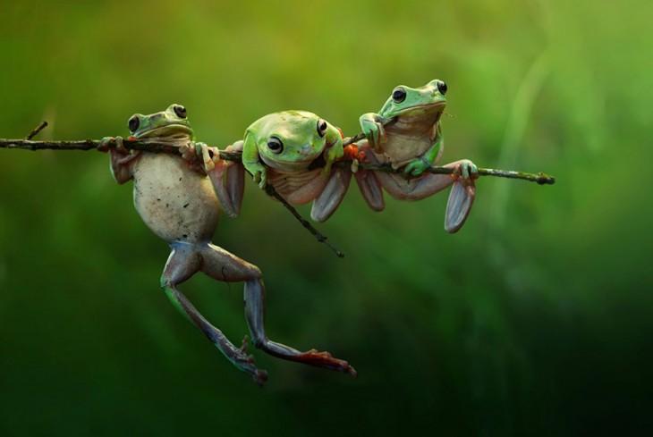 Tres ranas en una rama de árbol