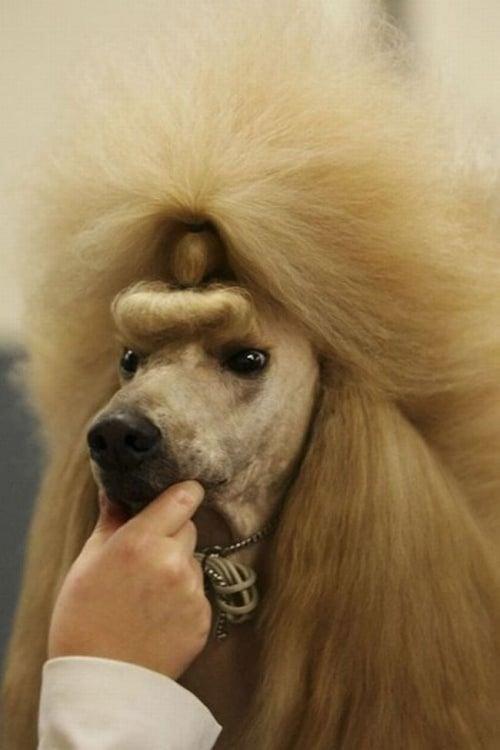 Perro con corte de pelo esponjado