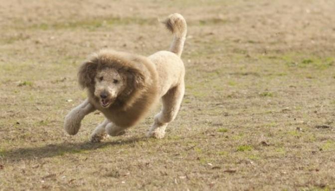 Perro café con corte de pelo tipo león