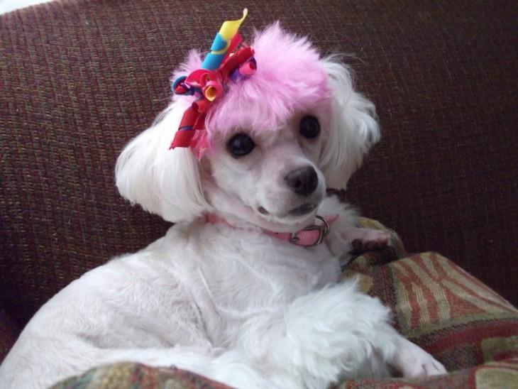 perro french con el pelo rosa