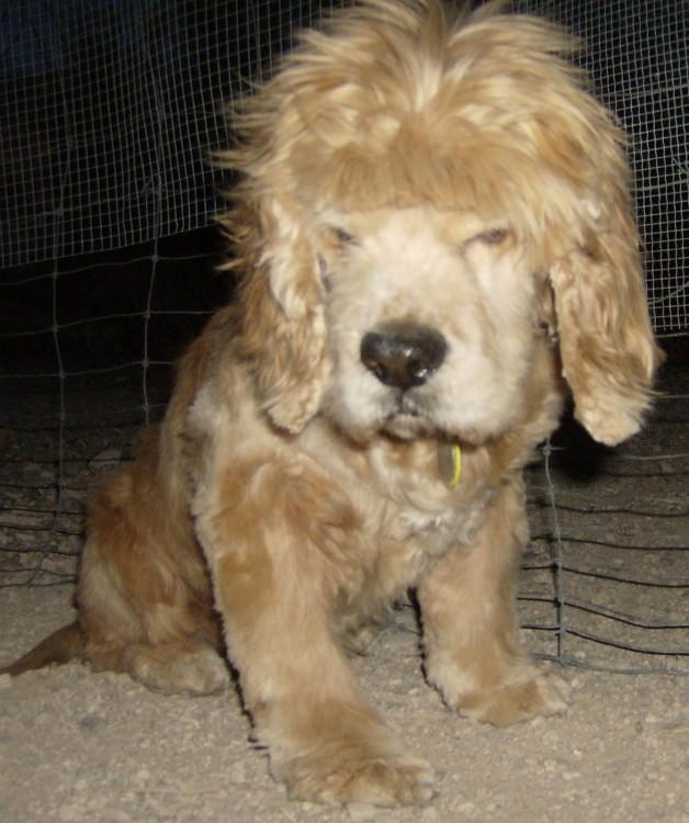 Perro con corte de pelo ridículo