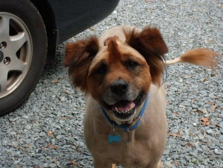 Corte de pelo ridículo en un perro café