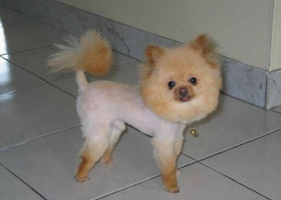 Perros con el corte de pelo m s horrible y feo del mundo - Foto poile ...