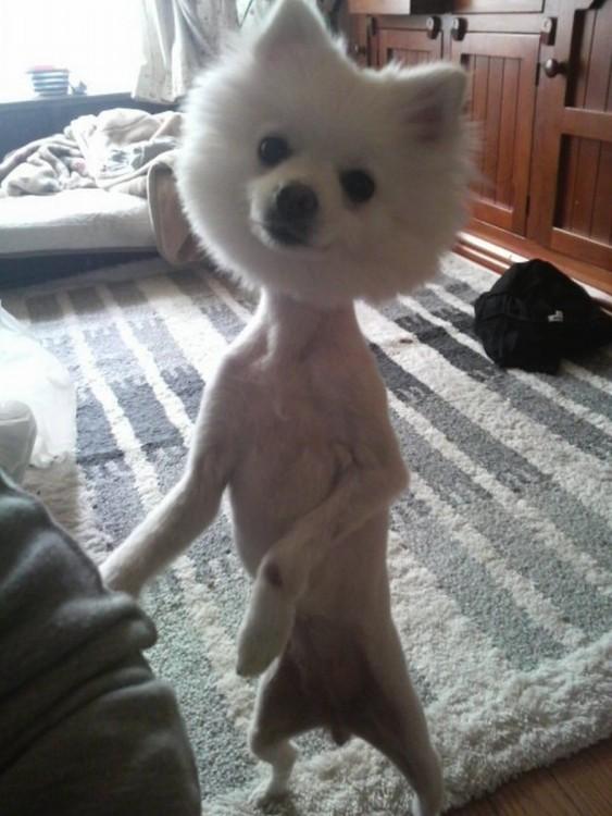 perrito blanco con el cuerpo rapado