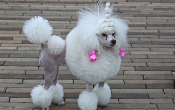 french poodle con el peor corte de pelo
