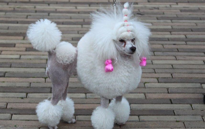 Cortes de pelo para mi french poodle