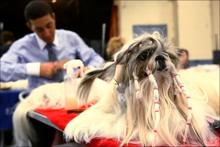 Perro Shih tzu con el pelo largo y peinado ridículo
