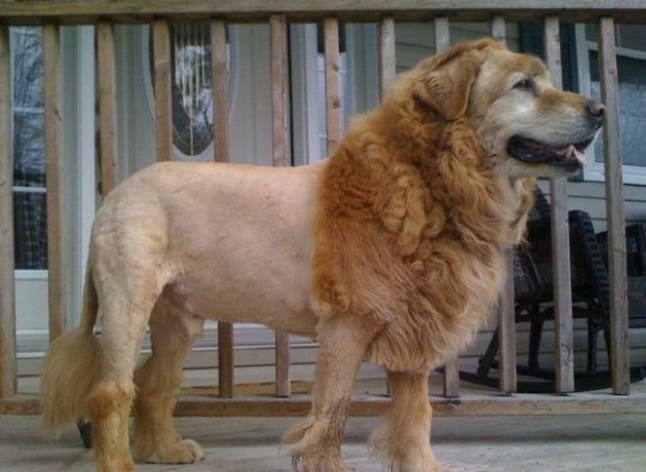 Perro golden con corte de león