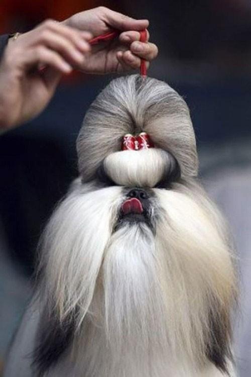 Perro Shih tzu con peinado elegante y ridículo