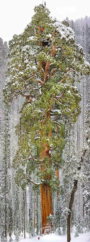 Secoya enorme ubicada en California, Estados Unidos