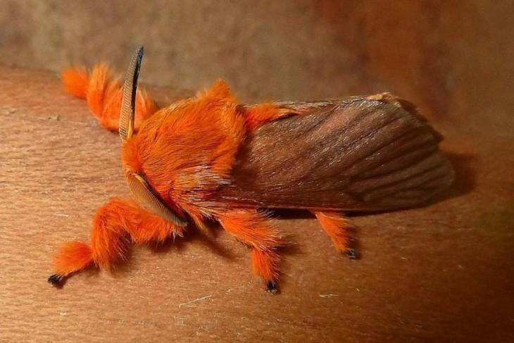 Mariposa Acraga Coa sobre el tallo de un árbol