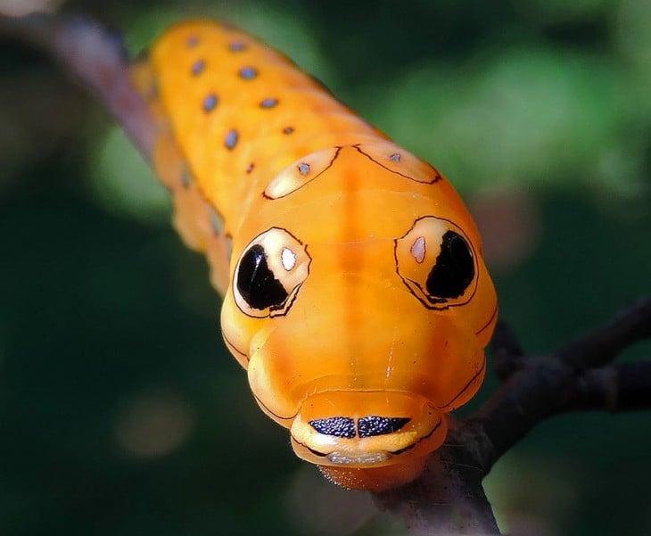 Oruga Spicebush Swallowtail de color naranja con figuras sobre su piel