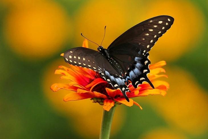 Mariposa Spicebush Swallowtail sobre una flor de color naranja