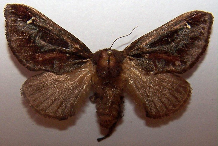 Mariposa Acharia Stimulea