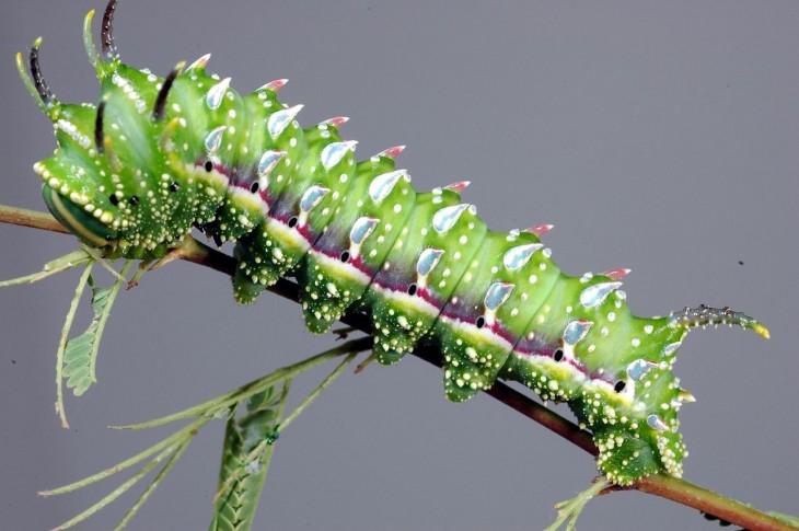 Oruga  Hubbard's Small Silkmoth en la rama de una planta