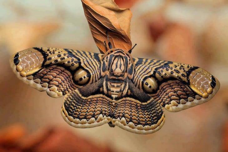 Mariposa Brahmán sobre una hoja seca