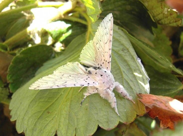 Mariposa cerura vinula sobre una hoja verde