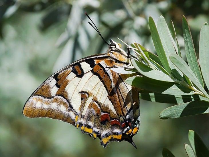 Mariposa Polyura Sempronio  en unas hojas verdes