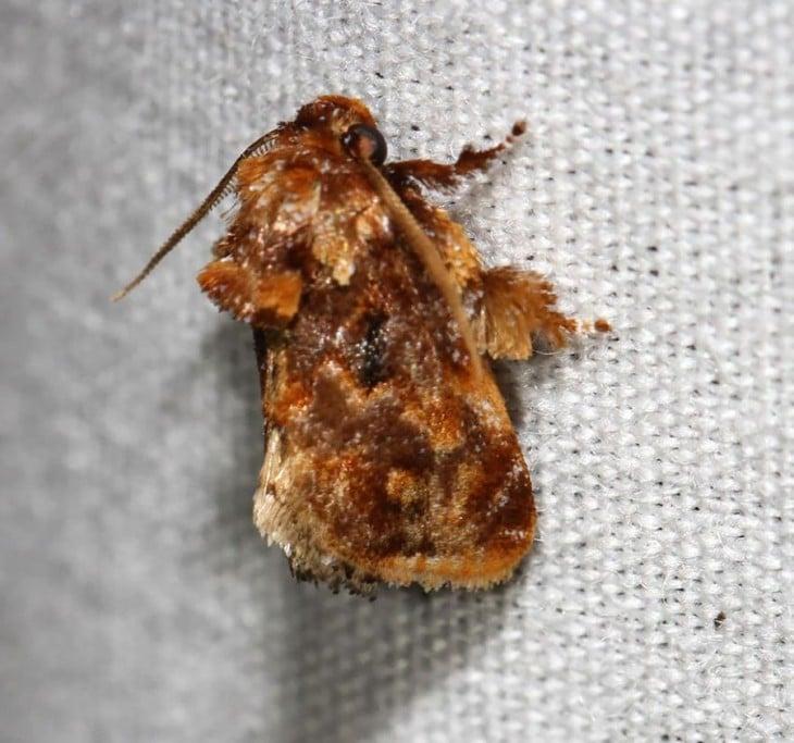 Mariposa Isochaetes Beutenmuelleri  sobre una superficie blanca