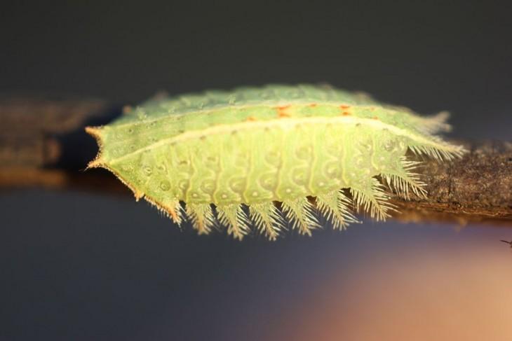Oruga de mariposa isa textula