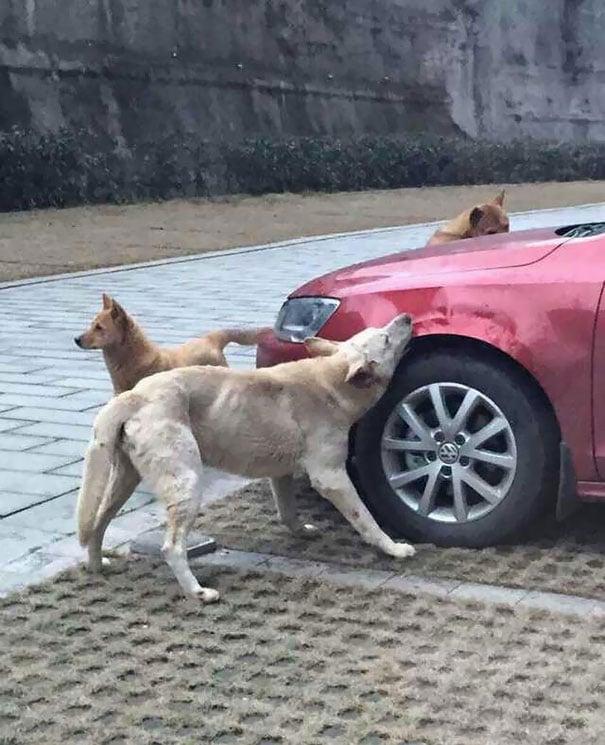 manada de perros mordiendo la defensa de un carro