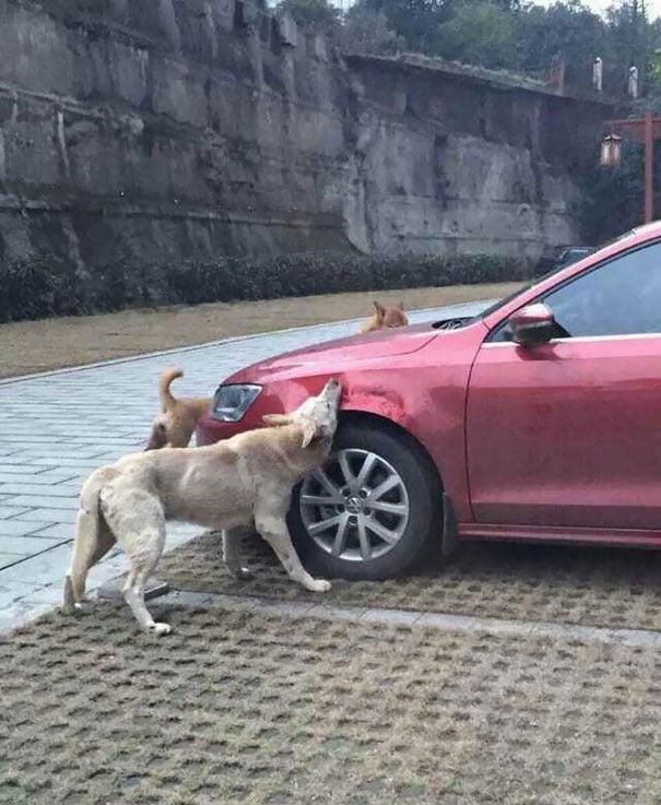 Manada de perros mordiendo un carro