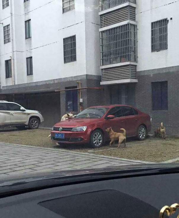 Perros mordiendo los limpiaparabrisas de un carro