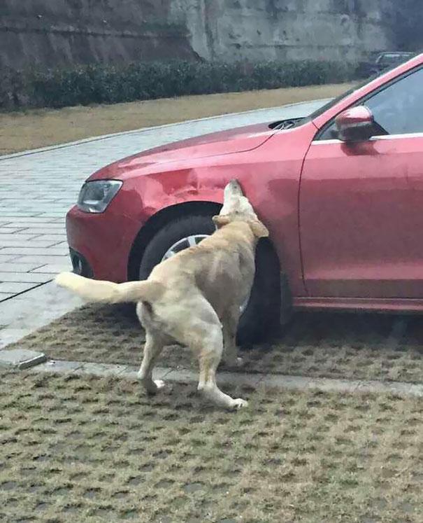 Perro mordiendo un costado de la defensa del carro