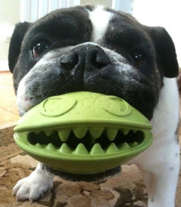 Perros con juguetes graciosos (7)