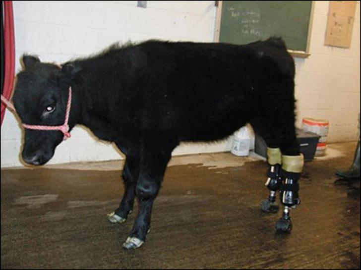 Becerro en color negro con prótesis en las patas traseras