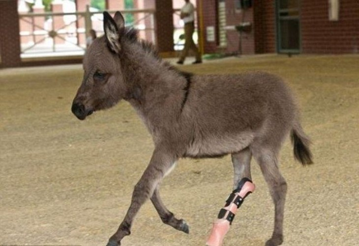 Un burro mini con prótesis en una de sus patas traseras